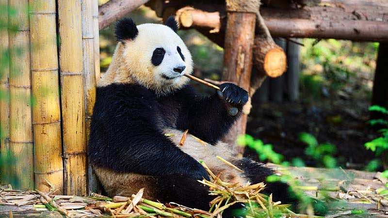 A giant panda chews on a bamboo stick in an exhibit.